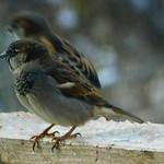 Male House Sparrow thumbnail
