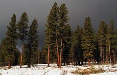 Storm Coming (arbyreed) Tags: arbyreed trees pine pondarosapine snow winter storm sky darksky uintahmountains summitcountyutah soapstonebasin cold