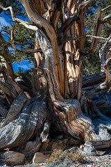 Bristlecone Pine (El Cajon) Tags: bishop california unitedstates us bristlecone pine whitemountains ancient