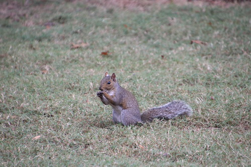 Eastern Grey Squirrels in Marion Square (Charleston, South Carolina) - November 5th through 8th, 2018
