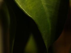 Macro Mondays - Green (ISOZPHOTO) Tags: macromondays green makro isoz isozphoto olympus zuiko 35mm e330 dof schärfentiefe leaf macro nahaufnahme depthoffield grün color farbe hmm dslr spiegelreflex oly ft fourthirds 43 esystem mzuiko evolt ficusbenjamina laub bokeh details detail floral flora pflanze plant brilliant composition