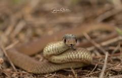 Juvenile Eastern Brown snake (benstubbs13) Tags: eastern brown snake venomous reptile juvenile wildlife photography ausgeo natgeo australia victoria melbourne spring