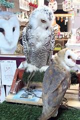 Guinevere and Anna (billnbenj) Tags: barrow cumbria owl barnowl raptor birdofprey