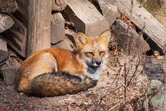 Serenity (ZeGaby) Tags: animals animaux naturephotography parcdesaintecroix pentaxda300mm pentaxk1 renard fox rhodes moselle france fr