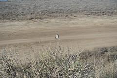 ミヤマシシド White-crowned Sparrow (yuki_alm_misa) Tags: ミヤマシシド whitecrownedsparrow カリフォルニア 演習場 california lasfloresviewpoint usmccamppendleton theunitedstatesmarinecorps 西海岸 usmc アメリカ海兵隊