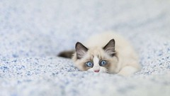 7 Facts About Ragdoll Cats (katalaynet) Tags: follow happy me fun photooftheday beautiful love friends