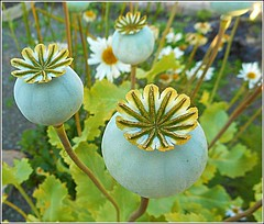 Poppy Seedheads ... (** Janets Photos **) Tags: ukhull nature flowers flora closeups poppies macro