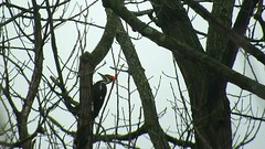 Female Pileated Woodpecker_3832.mp4 (Henryr10) Tags: ottoarmlederpark hamiltoncountyparkdistrict cincinnati ottoarmledermemorialpark armlederpark littlemiamiriver greatparksofhamiltoncounty usa pileatedwoodpecker dryocopuspileatus dryocopus pileatus bird woodpecker avian vogel ibon oiseau pasare fågel uccello tékklistar piwo