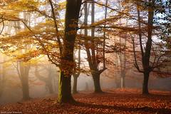 Once upon a time (Hector Prada) Tags: autumn otoño forest bosque golden dorado mist bruma light luz sunlight leaves hojas trees árbol nature naturaleza fall mood basquecountry paísvasco
