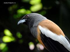 DSCN5410 Rufous Treepie (Dendrocitta vagabunda) (vlupadya) Tags: greatnature aves fauna indianbirds rufous treepie dendrocitta kundapura karnataka