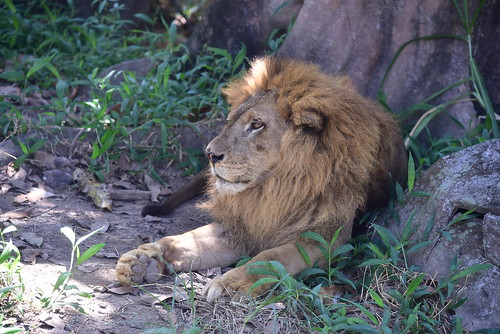 Though still captive, this lion is framed in a near natural environment