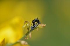 mier (marleenhouben) Tags: mier ant geel brem provence exposite karregat