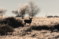 November 18, 2018 - A deer buck silhouetted against an icy landscape. (Tony's Takes)