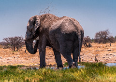 DSC00215 (philliphalper) Tags: namutoni etosha nimabia elephant