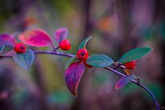 Cotoneaster (Zwergmispel) (Of Light & Lenses) Tags: colors zwergmispel delightful birds nature cotoneaster leaves macro naturfoto berries xcd hasselbladx1d xcd120 bokeh