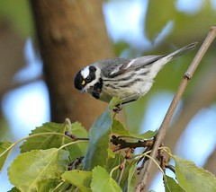 A Penny For Your Thoughts (Slow Turning) Tags: setophaganigrescens blackthroatedgraywarbler blackthroatedgreywarbler bird perched tree branch migrant migrating migrate vagrant autumn fall southernontario canada