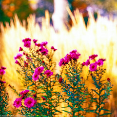 Autumn flowers (photonicpainter) Tags: film meinfilmlab analog wwwmeinfilmlabde vega 12b 90 28 kiev60 kiev 60 medium format 120 6x6