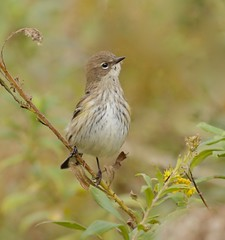 Checking on the Neighbours (Slow Turning) Tags: setophagacoronata yellowrumpedwarbler immature bird migrant migrating fall autumn weeds plants goldenrod solidago southernontario canada