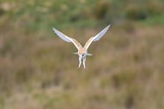 Barn Owl Hunting (Terry Angus) Tags: owl barnowl