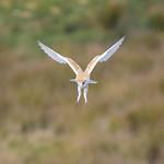 Barn Owl Hunting thumbnail