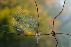 Spiderweb (Guy Goetzinger) Tags: fall autumn herbst nikon d850 spider web nature outdoor minimum detail october netz tau work animal zaun spinnennetz toile quality dew