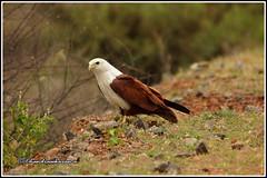 8373 - brahminy kite (chandrasekaran a 55 lakhs views Thanks to all.) Tags: brahminykite birds nature india tamilnadu muthupet canon60d tamron200500mm
