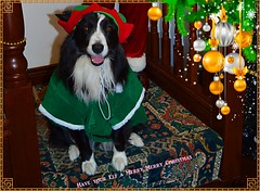 Have your Elf a Merry Xmas (ASHA THE BORDER COLLiE) Tags: funny christmas elf picture caption happy ashathestarofcountydown connie kells county down photography