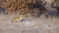 Coyote (finlander13) Tags: coyote minnesota sherburnenationalwildliferefuge wildlife nature onlyinmn