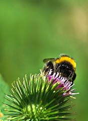 Hummel auf Distelblüte (uwe125) Tags: tiere insekten hummel blüte nektar macro insects