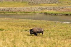 Yellowstone National Park, MT (jacqueline.poggi) Tags: etatsunis montana parcnationaldeyellowstone usa unitedstates unitedstatesofamerica yellowstone yellowstonenationalpark americanbison bison bisonameiicain bisonbison buffalo