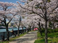 Hanami - Osaka - Kema Sakuranomiya Park (Noti NaBox) Tags: japan japon hanami sakura cerisier cherry blossom fleur osaka sakuranomiya park parc lumix g80 g85
