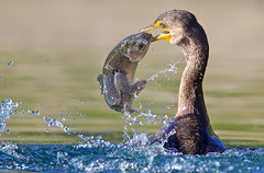 Double-crested Cormorant with fish (Thy Photography) Tags: doublecrestedcormorant california sunrise sunset sunshine sanfranciscobayarea animal avian wildlife animals outdoor nature photography trout rainbowtrout fish fishing cormorant cormorantgulpingfish