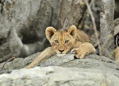 Lion Cub on the rocks! (Rob Keulemans) Tags: 2018 krugernationalpark lioncubs rocks wild