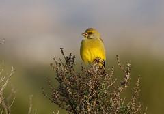 Greenfinch  ---- Carduelis chloris (creaturesnapper) Tags: birds almeria spain europe finches greenfinch carduelischloris