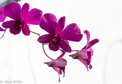 TG Nov2018 1LO-0002 (Mary D'Elia) Tags: florida blooms dendrobium flowers orchid rain tropical water