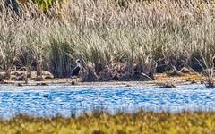 Zambia-1126 (C&P_Pics) Tags: birds kapishyahotspringsarea places storks woollyneckedstork zambia northernprovince zm