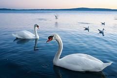 Swans (Giada Cortellini) Tags: swans cigni trevignano trevignanoromano lago lake water landscpe animals birds uccelli animali swan cigno acqua lagodibracciano lazio italia italy canon nature naturephotography mondoanimale fauna sunset tramonto sky cielo blue blu azzurro