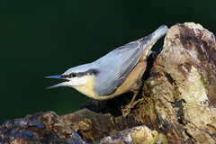 K32P4461c Nuthatch, Lackford Lakes, October 2018 (bobchappell55) Tags: lackfordlakes nature wild wildlife bird suffolk nuthatch sittaeuropaea woodland