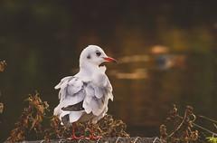 Gull on lake (andyvivahate) Tags: gull bristol bird