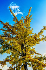 Golden Ginkgo (enneafive) Tags: ginkgobiloba gold sky blue yellow tree clouds leaves nature garden fujifilm xt2 affinityphoto