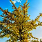 Golden Ginkgo thumbnail