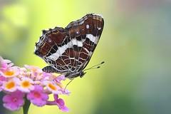 P7227241_hf (alfred.reinartz) Tags: schmetterling butterfly landkärtchen insekt insect