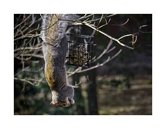 Where There's A Will...... (sorrellbruce) Tags: winter hungry birdfeeder squirrel