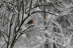 Punarinta (TheSaOk) Tags: punarinta robin bird birdlife wildlife linnut yleluonto luontokuva