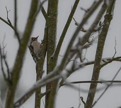 Pikkutikka (TheSaOk) Tags: yleluonto bird linnut wildlife finland birdlife pikkutikka dryobatesminor