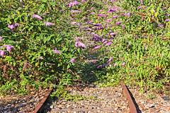 9836 - PARIS 19 - LA PETITE CEINTURE (mimi.deparis21) Tags: paris petiteceinture abandon voieferrée rails nature buddleias arbresauxpapillons fleurs railroad abandoned shrub flowers