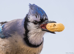 Blue Jay (Melissa M McCarthy) Tags: bluejay bird songbird animal nature wildlife wild outdoor jay blue tongue mouth eating peanut closeup face portrait winter mountpearl newfoundland canada canon7dmarkii canon100400isii