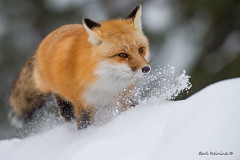 The chase is on.. (Earl Reinink) Tags: fox easternredfox animal winter snow forest chase earlreinink outaoaadoa