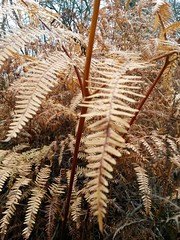 20181125_102302 (Stitchinscience) Tags: fern bracken yellow autumn