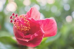 Al final del día (Letua) Tags: bokeh colorado flor flores flower flowers green hibisco hibiscus naturaleza nature red rojo rosachina verde